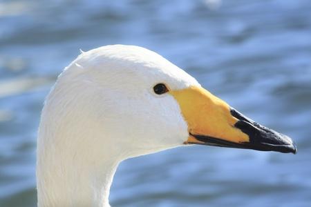 swan in Takamatu lake photo