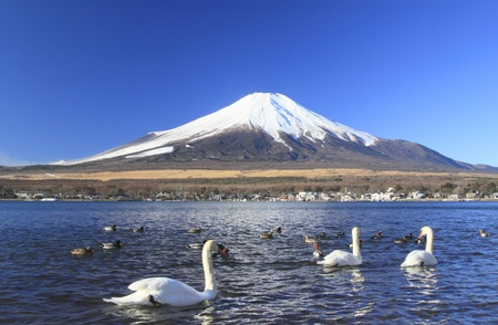 fuji: Mt.fuji and swans in  Lake Yamanaka
