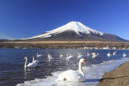 Mt.fuji and swans in  Lake Yamanaka  photo