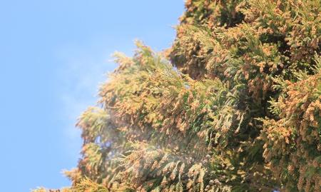 日本の杉と青空