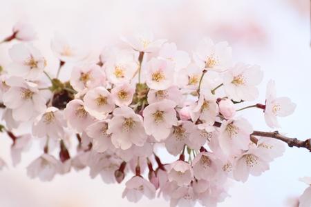 Full bloomed cherry blossoms  against blue sky Stock Photo - 11699146
