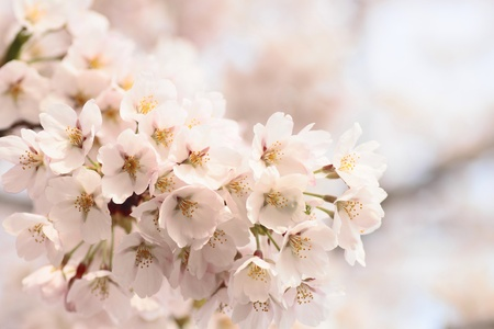 Full bloomed cherry blossoms   photo