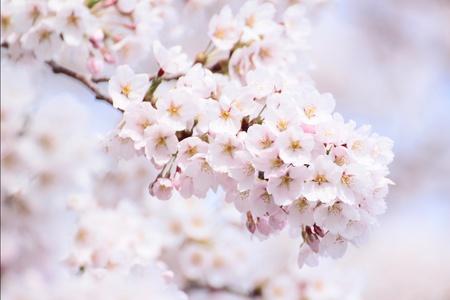 Voll erbl�ht Kirschbl�ten