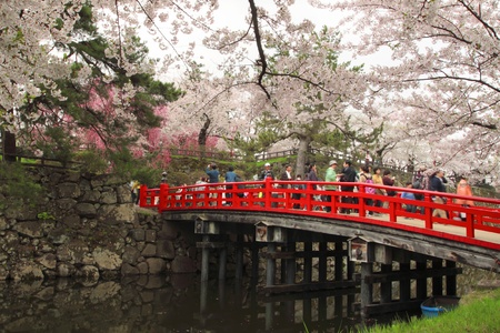 Full bloomed cherry blossoms  in Hirosaki park