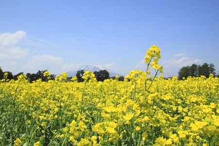 Rape field, canola crops on blue sky  photo