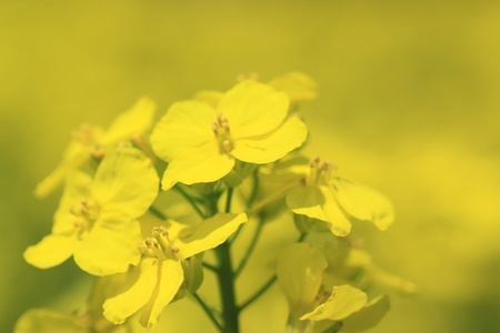 Rape field, canola crops  photo
