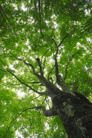 beech leaf: Beech forest