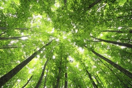feuille arbre: For�t de h�tres Banque d'images