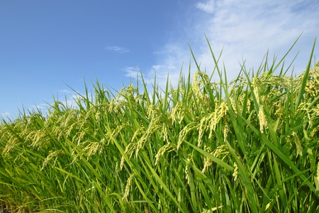 rice grain: Landscape of rice field with blue sky