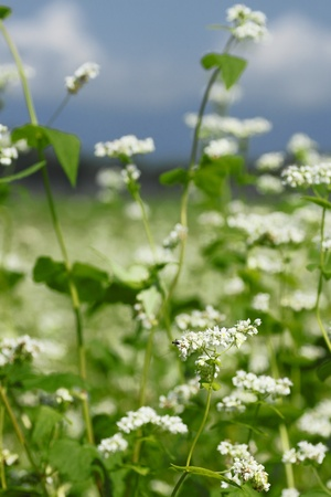 Landscape of Buckwheat field  in Japan Stock Photo - 12024067