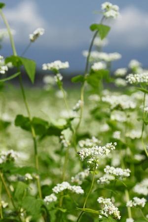 Landscape of Buckwheat field  in Japan Stock Photo - 12024067