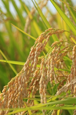 rice crop: Landscape of rice field  in Japan Stock Photo