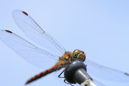 vulgatum: A red dragonfly at rest Sympetrum vulgatum   Stock Photo