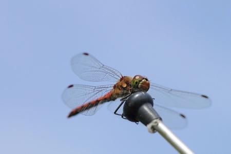 sympetrum vulgatum: A red dragonfly at rest Sympetrum vulgatum   Stock Photo