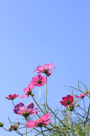 Cosmos Flowers and blue sky Stock Photo - 12046202