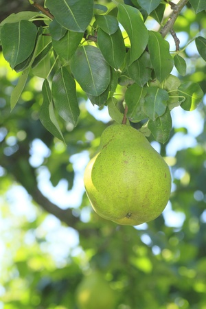 some pears hanging on a branch of a tree  photo