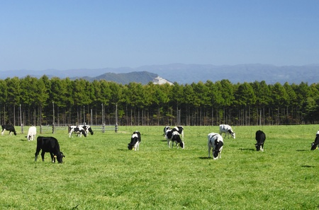holsteine: cow and grass in  autuwn