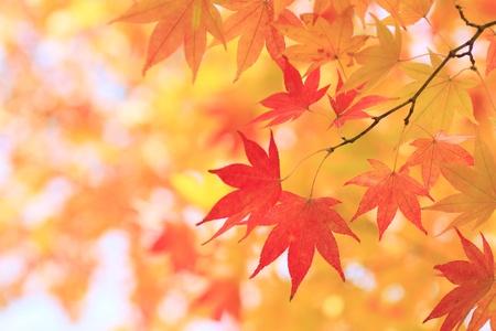 Herbstliche farbige Bl�tter, Ahorn in Oirase
