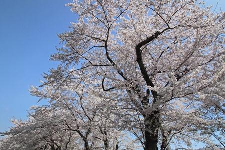 cherry  blossom  and  blue  sky   in  Kakunodate, Akita, Japan Stock Photo - 13482575