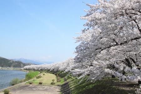 Kirschbl�te in Kakunodate, Akita, Japan 5. Mai 2011