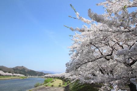 cherry  blossom    in  Kakunodate, Akita, Japan photo