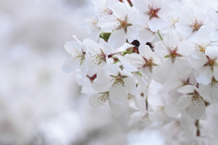 cherry  blossom    in  Kakunodate, Akita, Japan  5  May  2011