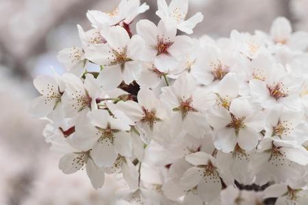 cherry  blossom  in  Kakunodate, Akita, Japan Stock Photo