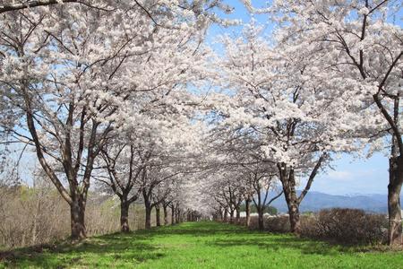 cherry  blossom    in  Kakunodate, Akita, Japan