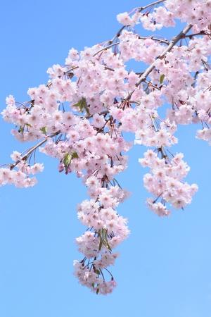 Full bloomed cherry blossoms  in Hirosaki park