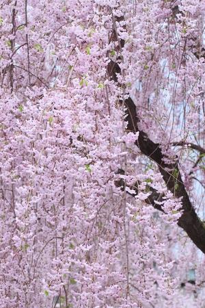 Full bloomed cherry blossoms  in Hirosaki park photo