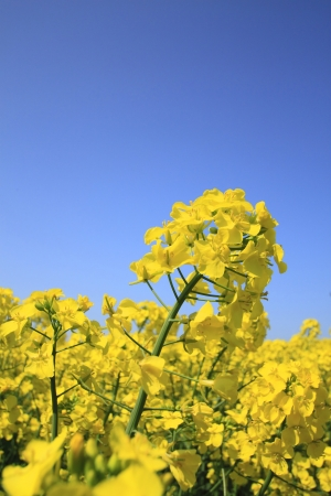 Rape field, canola crops on blue sky   in Yokohama, town ,Aomori Japan  photo