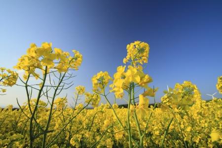 Rape field, canola crops on blue sky   in Yokohama, town ,Aomori Japan