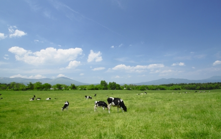 Cow and  blue  sky in   field     Hachimantai,  Iwate,  Touhoku, Japan  photo