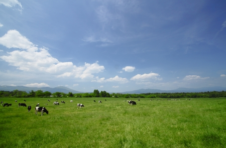 Cow and  blue  sky in   field     Hachimantai,  Iwate,  Touhoku, Japan