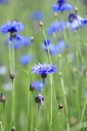 Close up blauen Kornblumen und Feld im Sommer