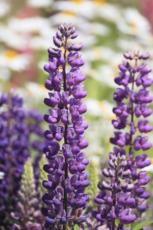 fabaceae: Lupin (Lupinus), family Fabaceae, in the garden  Stock Photo