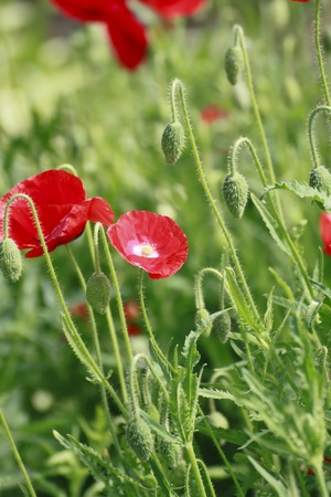 Close up  red corn poppy   in  green  field Stock Photo - 13996957