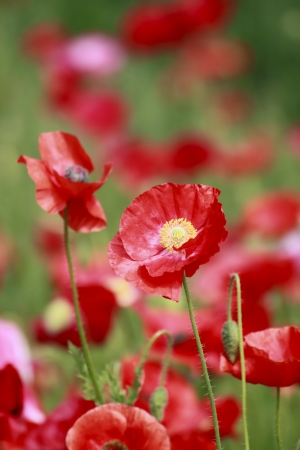 Close up  red corn poppy   in  green  field   photo
