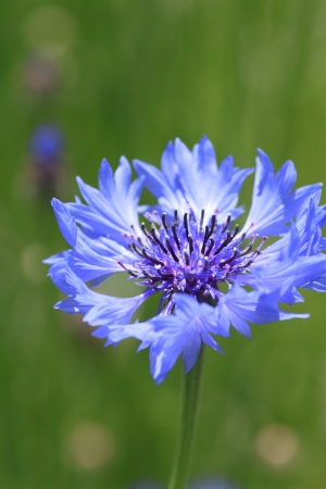 Close up blue cornflowers  and  field   In  summer photo