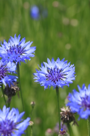 夏の青いヤグルマギクとフィールドを閉じる 写真素材