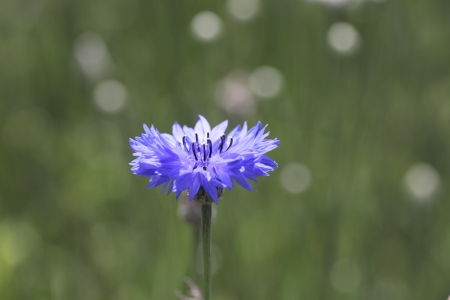 Close up blue cornflowers  and  field   In  summer Stock Photo - 13996973
