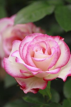 Close up Bella rosa in un giardino