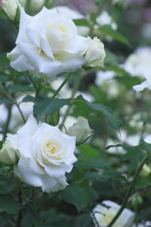 美しい庭でバラを閉じる