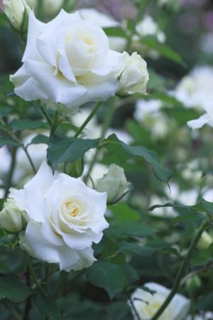 Close up sch�ne Rose in einem Garten