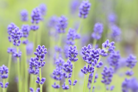 Close up of lavender flowers in summer Stock Photo