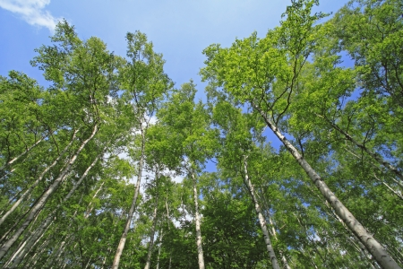Japanese white birch   Betula platyphylla var  japonica  photo
