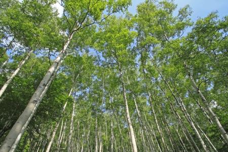 betula pendula: Japanese white birch   Betula platyphylla var  japonica