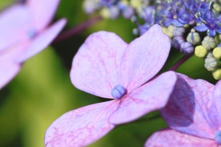 Close up   Hydrangea macrophylla   in summer    Iwate, Japan