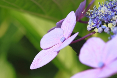 bailiwick: Close up   Hydrangea macrophylla   in summer Stock Photo