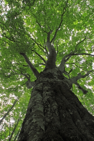 Beech forest  in  Appi,  Iwate,  Touhoku, Japan